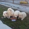 A început campania de sterilizare gratuită pentru câini la adăpostul ADP Râmnicu Sărat